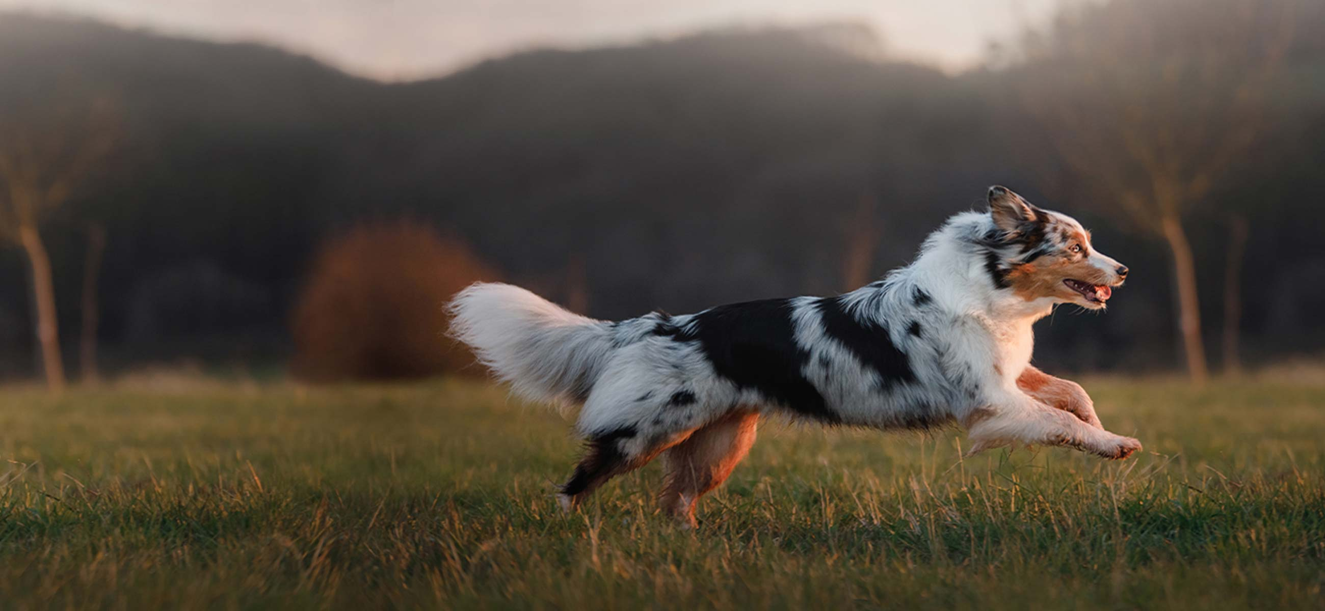 Australian shepherd running in field at dusk