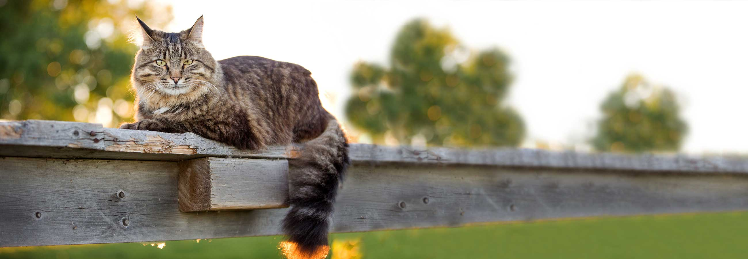 Fuzzy grey cat laying on wooden post