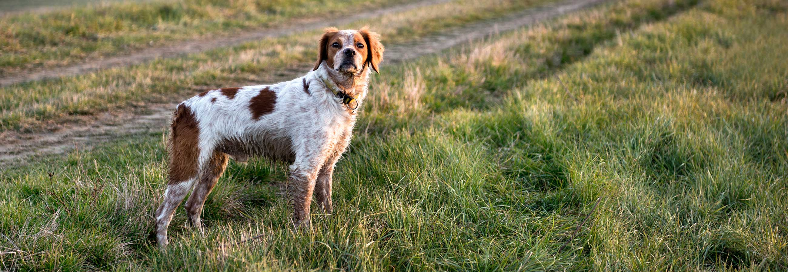Hunting bird dog standing in a field at sunrise