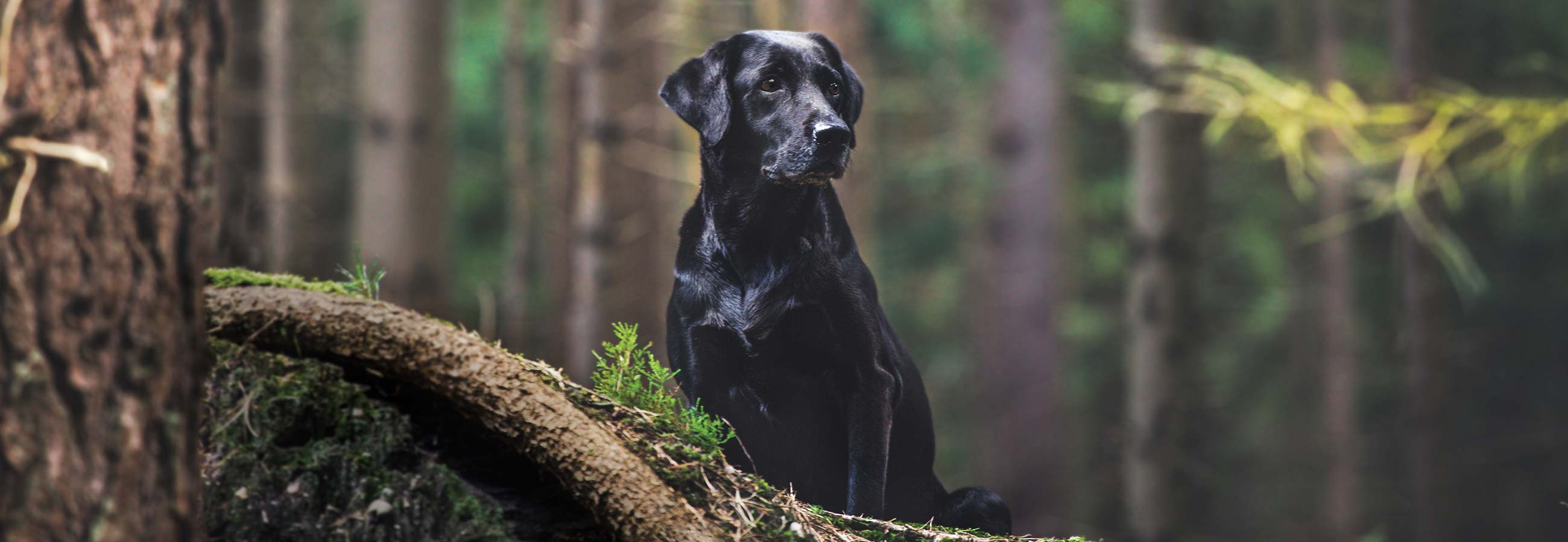 Shiny black lab sitting in forest
