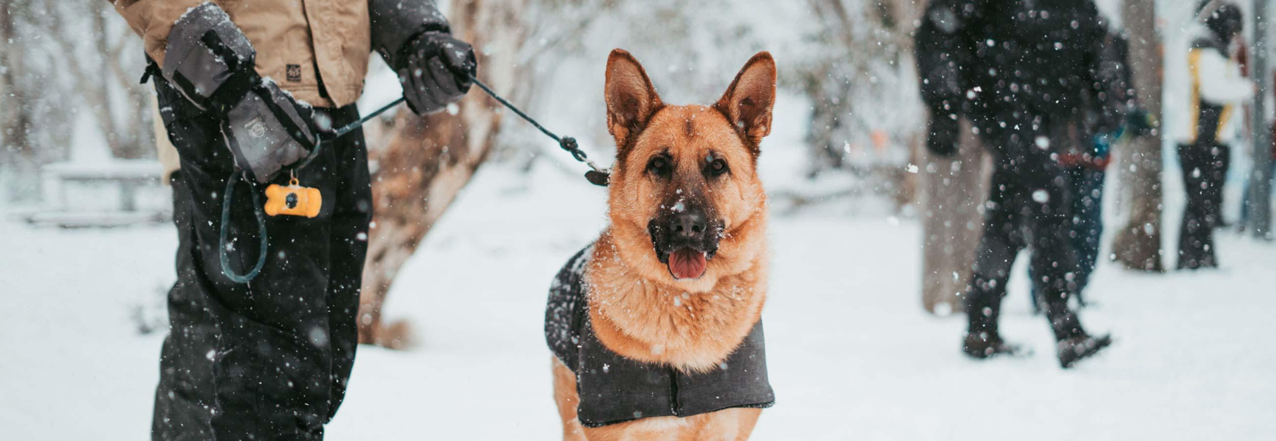 Working german shepard in the snow