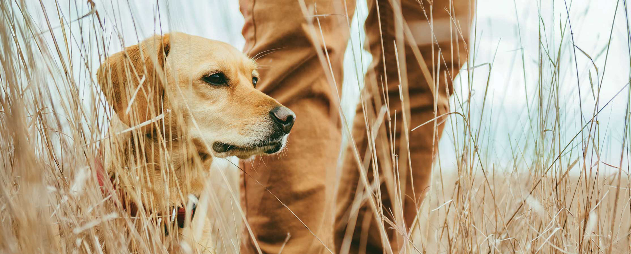 Yellow lab in front of person's legs in field