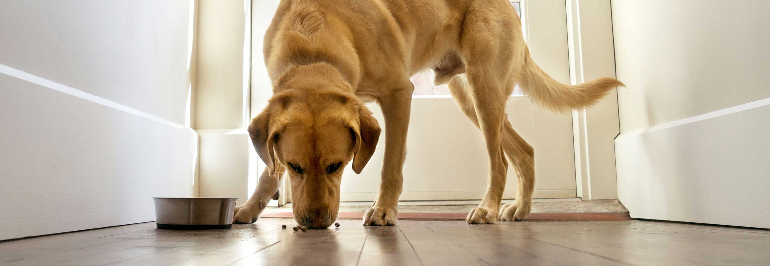 Yellow labrador retriever eating dog food off the floor