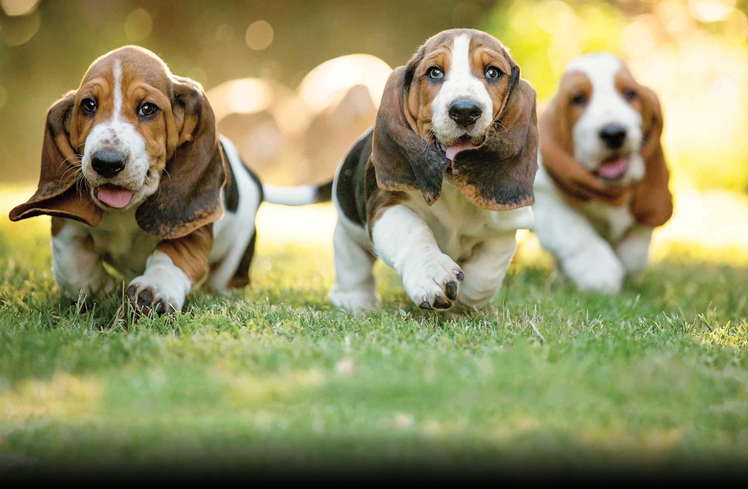Three basset hound puppies running in grass field